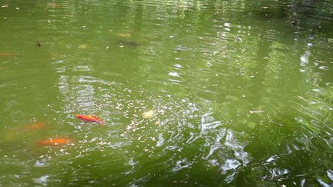 fishes swimming in the pond Live Action