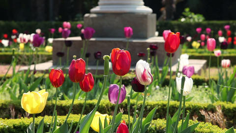 colorful tulips blooming Footage