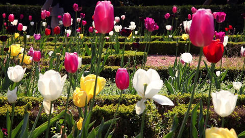 colorful blooming tulips Footage