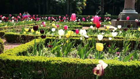 tulips blossom Footage