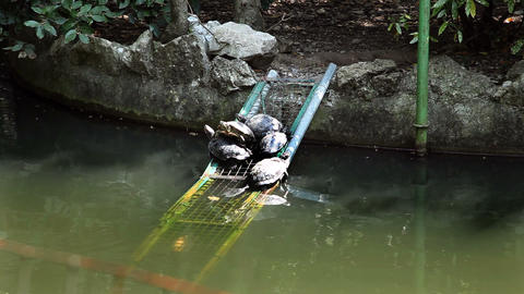 Some Turtles In The Pond Seating On Peace Of Iron stock footage