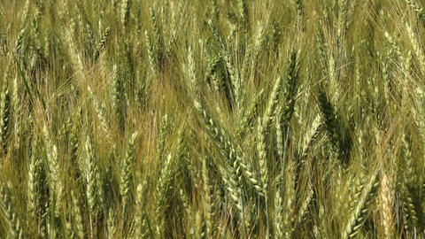 grain field in bright day Live Action