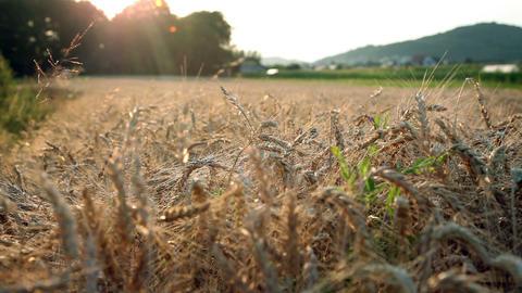 Field of wheat Footage