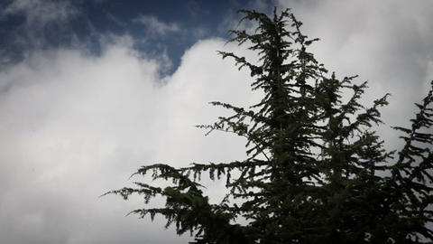the top of conifer tree with some clouds in behind Live Action