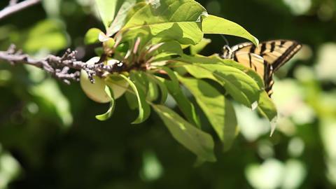 Butterfly On Plum Tree stock footage