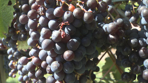 grapes on vines Stock Video Footage