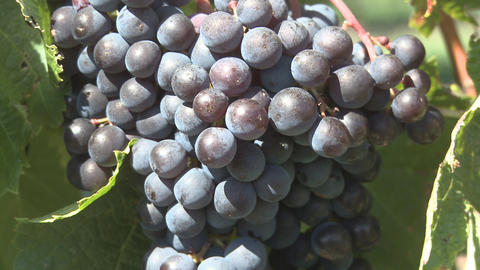 ripe grapes Footage