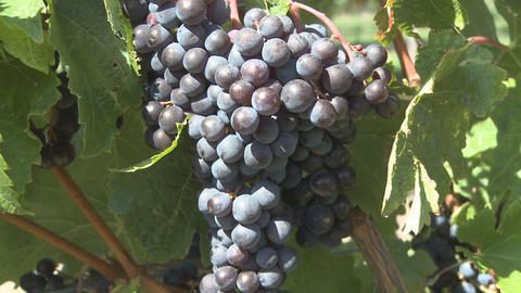 ripe grapes Stock Video Footage