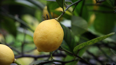 Close up of hand picking lemons from tree Footage