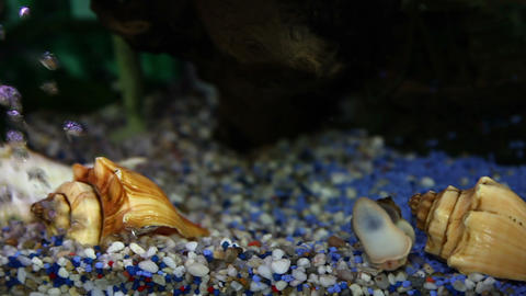 Close up shot of a gold fish in a fish tank Live Action