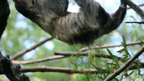 Shot of a sloth slowly climbing on tree branches Footage