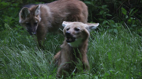 Shot of two foxes where is one chewing and other w Footage