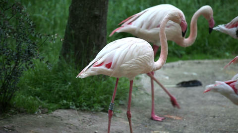Flamingos searching for food Footage