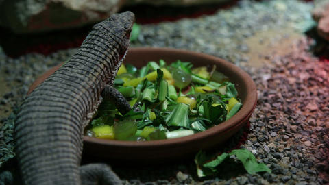 Lizard eating salad Footage