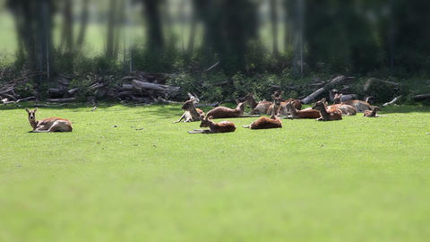 Several Deers Resting On Grass In Safari With Tilt stock footage