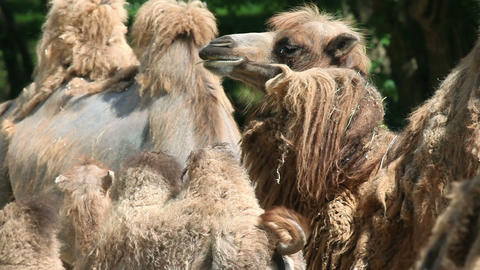 Baby camel running around while others are eating Footage