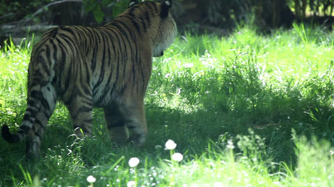 Tiger walking and looking around Footage