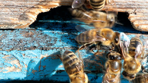 Honey Bees At The Entrance To The Hive stock footage