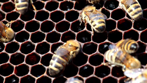 bees build honeycombs Footage
