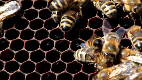 Honeybees Repair Cell stock footage