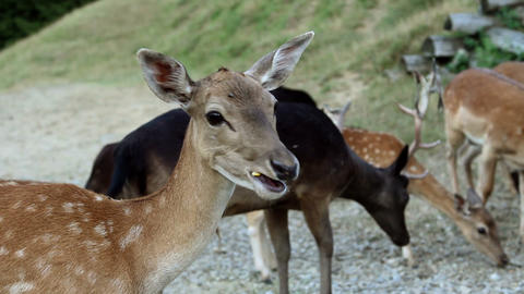 Tourists feeding deers Footage
