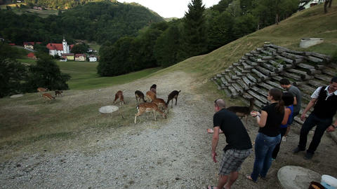 Group of tourists feeding deers with corn Footage