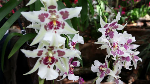 Violet and white orchid's blossom in garden Footage