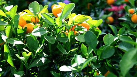 Tangerine Fruits On A Tree stock footage