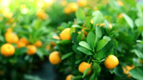Fruits of mandarin growing on a tree Footage