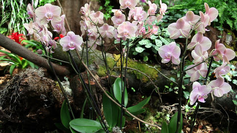 group of pink orchids Footage