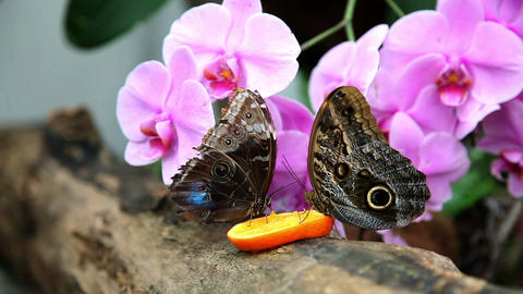 Two butterflies eating an orange Footage