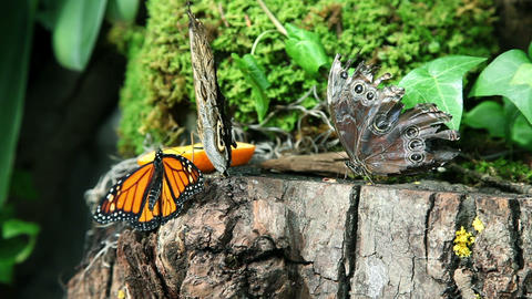 Butterflies eating an orange on a stump Footage