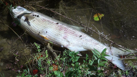 Close up shot of the dead fish in the pond Live Action