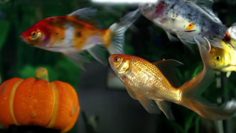 colorful fish enjoying in the aquarium Footage