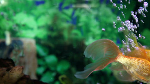 Shot of a colorful fish enjoying in the aquarium Footage
