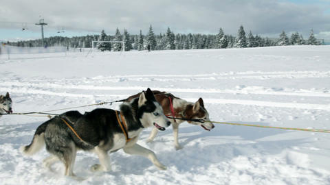Huskies enjoying while pulling sledge in winter ti Footage