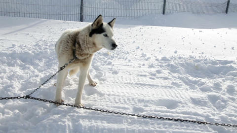 Husky enjoying winter while being tied to chain Footage