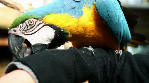 Colorful, funny parrot having fun on woman`s arm Footage