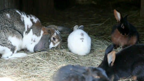 Big and small rabbits eating hay, other specialiti Footage