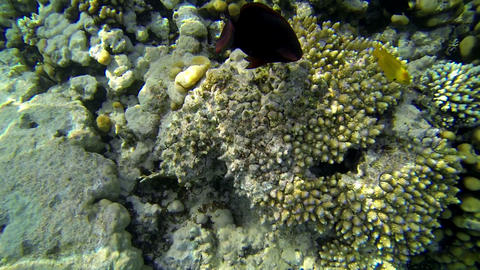 Fishes feeding from coral under sea water Footage