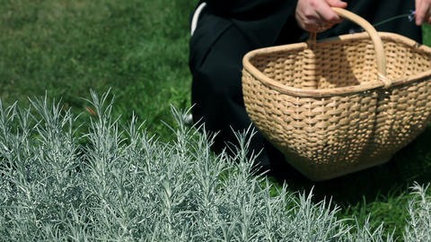 Close Up On Monk Picking Up Herbs In Garden stock footage