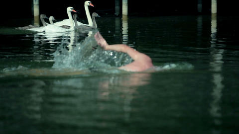 Group of swans and man swimming in lake Footage