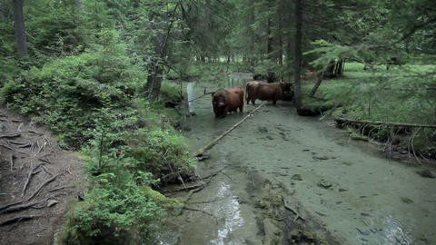 Group of bulls refreshing in river in nature Footage