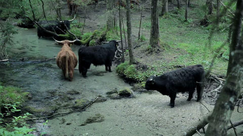 Group of bulls refreshing in river in nature Live Action