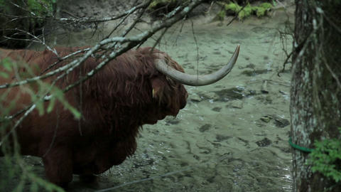 Close up on a bull refreshing in cold river Footage