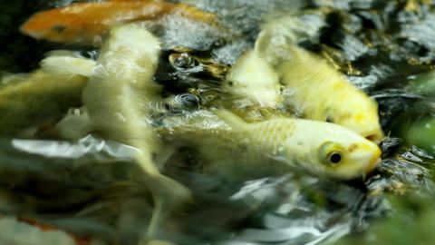 Japanese fishes Stock Video Footage