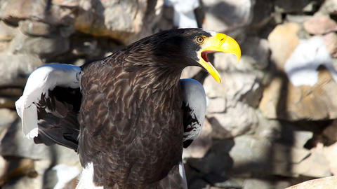 Steller's Sea-eagle Stock Video Footage