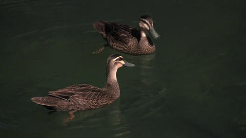Ducks Courting Stock Video Footage