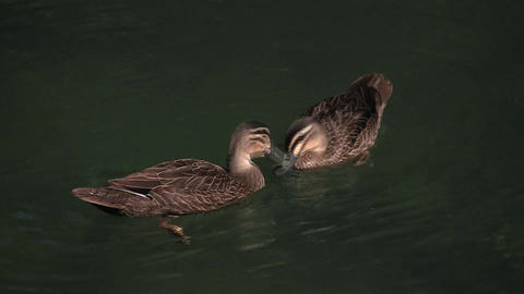 Ducks Courting Footage