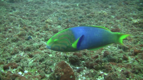 Green Moon Wrasse Stock Video Footage
